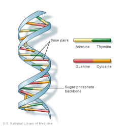 The structure of DNA. From the U.S. National Library of Medicine.